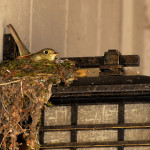 Pacific-slope Flycatcher – Hatched!