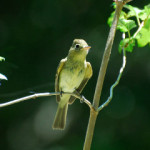 Flycatcher Nest is Robbed…