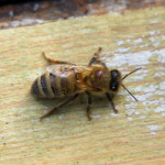 Hive Health: Varroa Monitoring