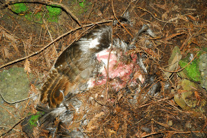 With more of the carcass exposed, it was clear a lot of this hen remained