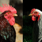 A Tale of Two Roosters