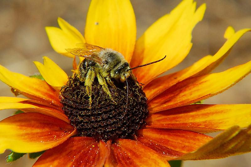 Long-Horn Bees
