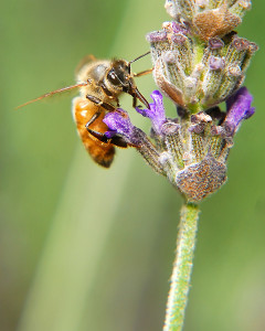 The nectar this bee is foraging on is safe