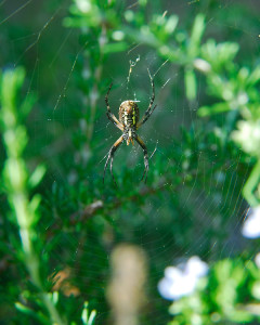 Black and Yellow Garden Spider (Argiope aurantia)