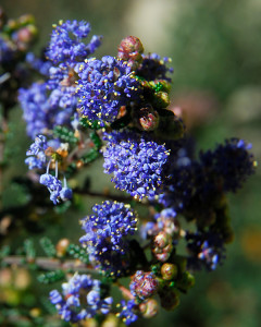 Ceanothus 'Puget Blue' is taking the drought in stride