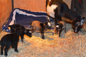 Minnie with her just-born set of quadruplet does!
